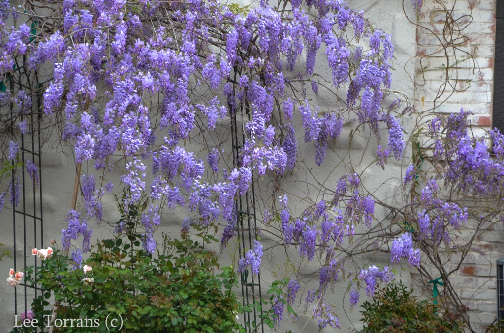 lilac pods poisonous trees and plants lee ann torrans gardening