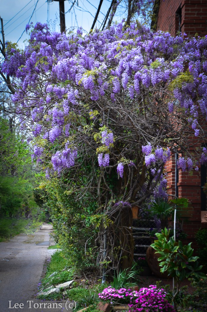 Wisteria in Texas