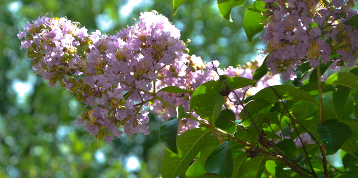 Muskogee_Crape_Myrtle_Tree_Plano_Landscaping_Lee_Ann_Torrans-3