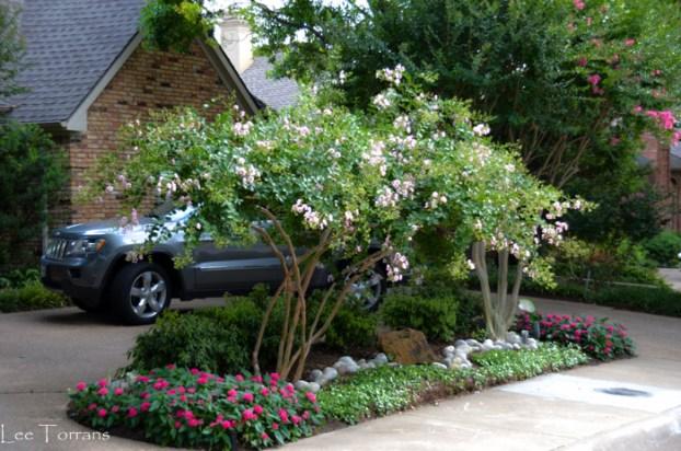Weeping_Pink_Crape_Myrtle_Lee_Ann_Torrans_Dallas_Gardening