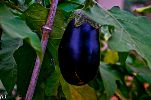 Eggplants in autumn raised gardens.