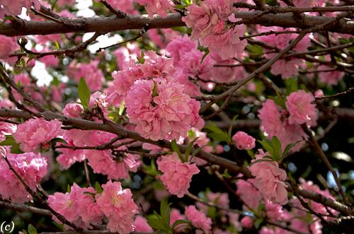 Flowering trees in texas an overview lee ann torrans gardening cherryblossomtree 2 2 mightylinksfo
