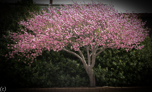 Flowering trees in texas an overview lee ann torrans gardening crabapple tree one of the very earliest flowering blooming trees in texas is the crabapple this tree blooms shortly after the forsythia and daffodils mightylinksfo