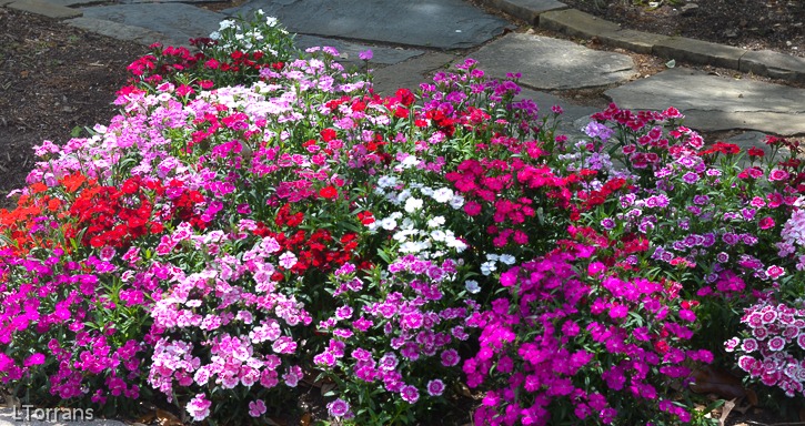 Texas perennial dianthus or pinks lee ann torrans gardening dianthus april texas perennial mightylinksfo