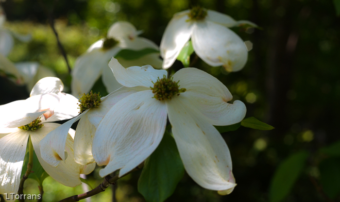 Dogwoods in Dallas
