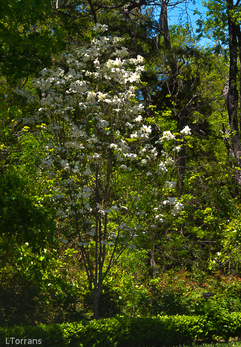Dogwood_White_Texas_Lee_Ann_Torrans-3