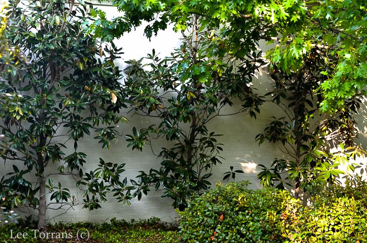 Little Gem Magnolia Espladiered