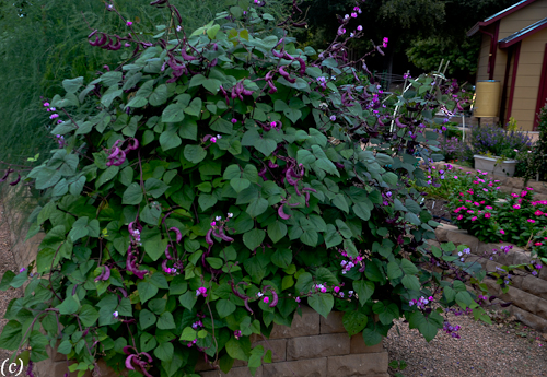 Genial Purple Beans In Texas In Raised Bed. Fall Gardening.
