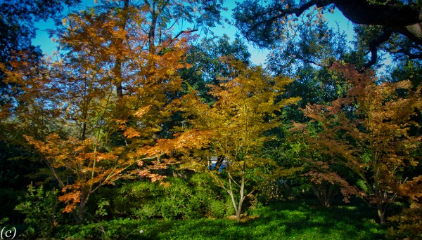 Japanese_Maple_Trees-2
