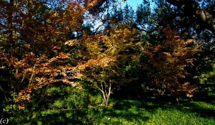 Japanese_Maple_Trees