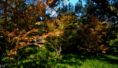 Japanese_Maple_Trees