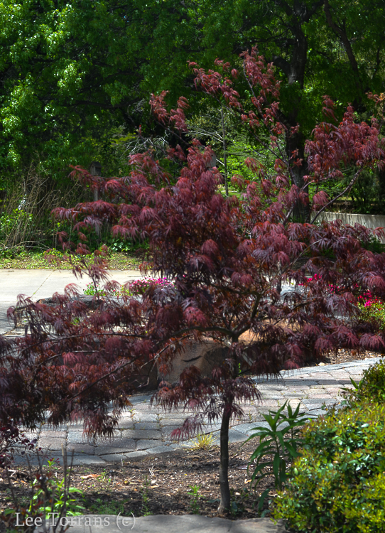 Japanese_maple_Dallas_Texas__Lee_Ann_Torrans
