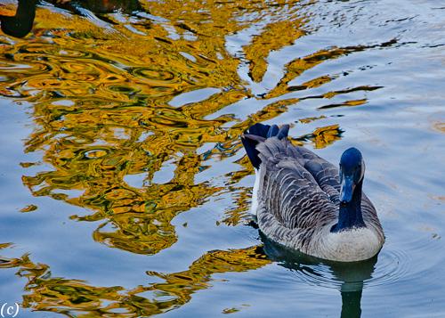Texas_Ducks_November_2012-6