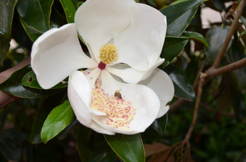 Magnolia Tree - Texas