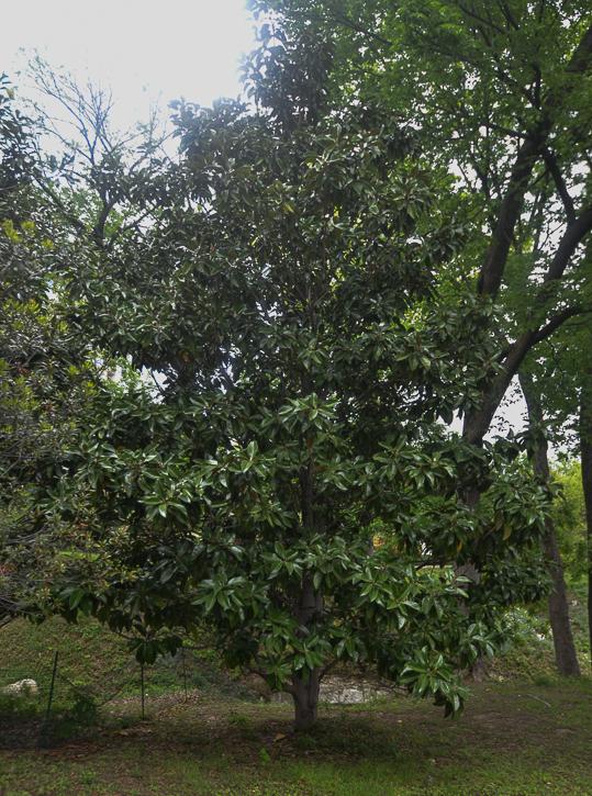 Magnolia Tree in Texas