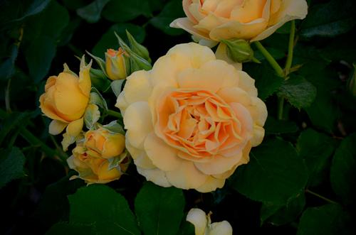 Honey_Perfume_Rose