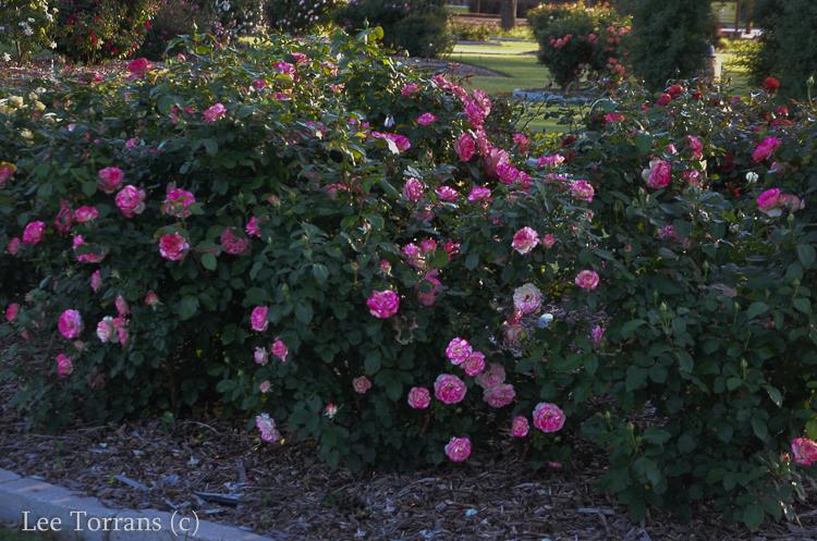 Cherry Parfait Shrub Rose Texas