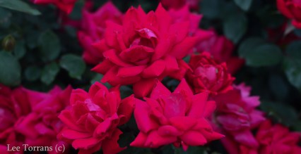 Double Knockout Landscaping Rose