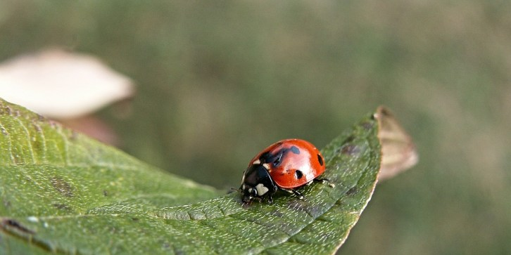 Lady bugs eat aphids. Release them into your garden at night after you have watered it. They need two things to stay: water to drink and aphids to devour! Otherwise they will depart to find those items in another garden.