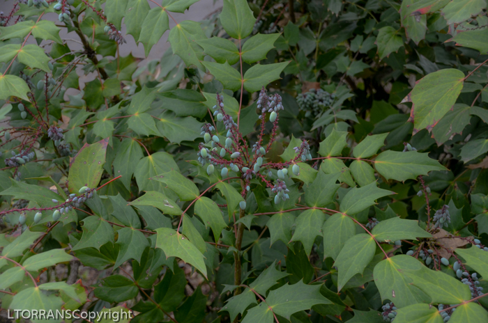 Mahonia in Texas: Cousin of Nandina