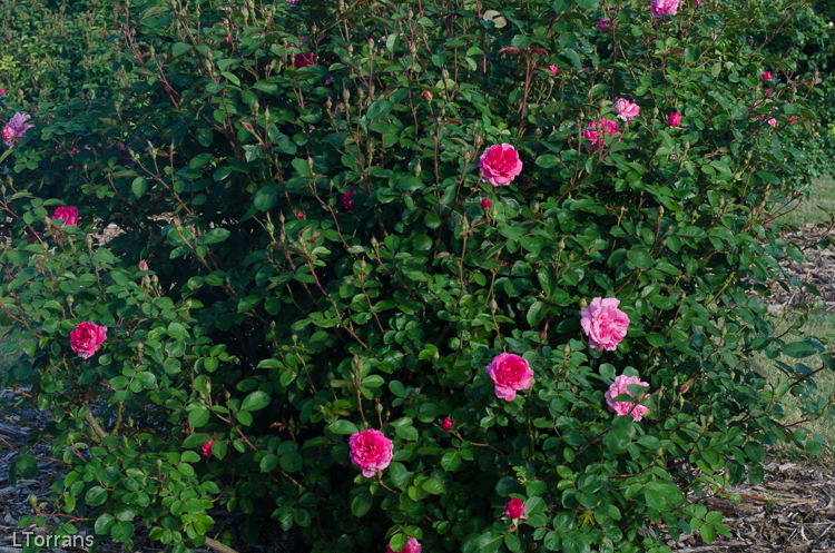 Prairie Breeze Shrub Rose for Texas