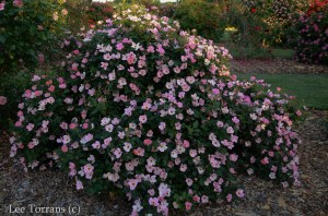Rainbow_Knockout_Shrub_Rose_Lee_Ann_Torrans