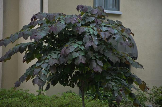 Redbud_Texas_Flowering_Tree_Lee_Ann_Torrans-3