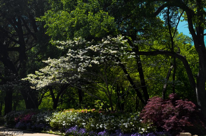 Azaleas_Dogwood_Dallas_April