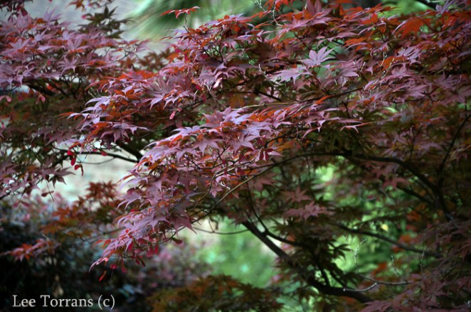 Loropetalum - and Japanese Maple Combination