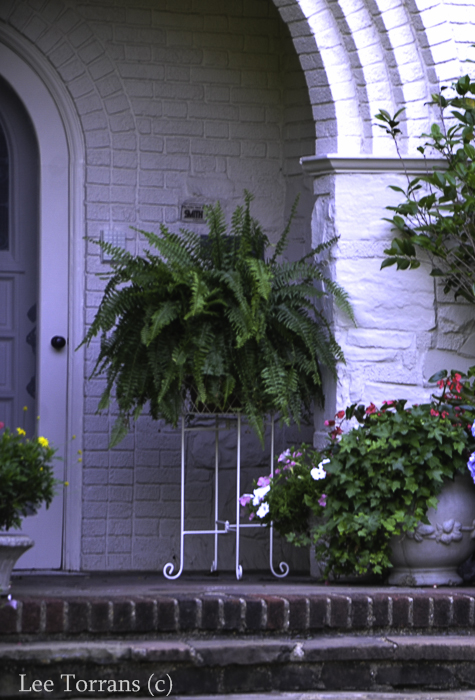 Boston Fern