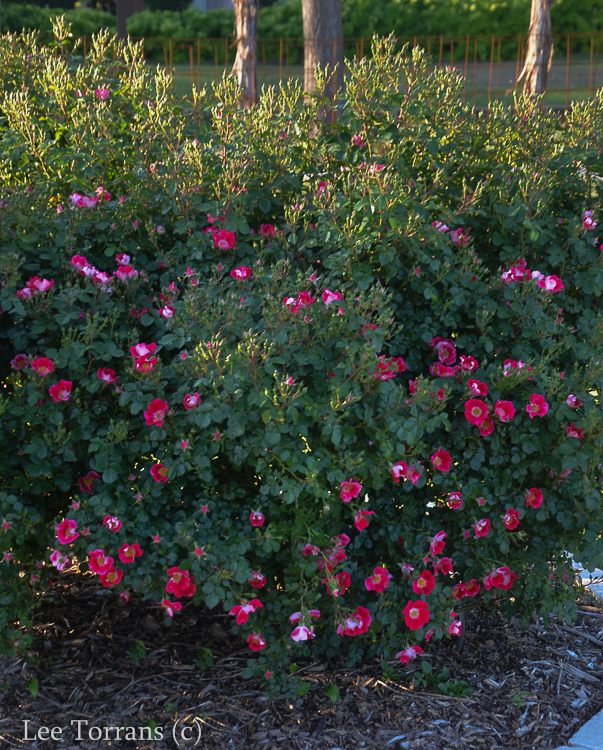Carefree Spirit Good Companion Shrub Rose to Home Run