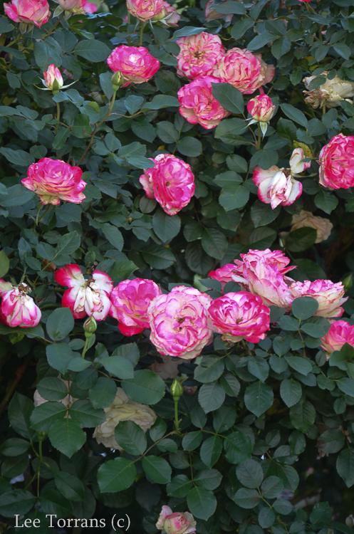Cherry Parfait Rose for Texas