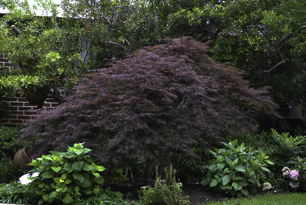 Crimson Queen Japanese Maple with French Hydrangeas.