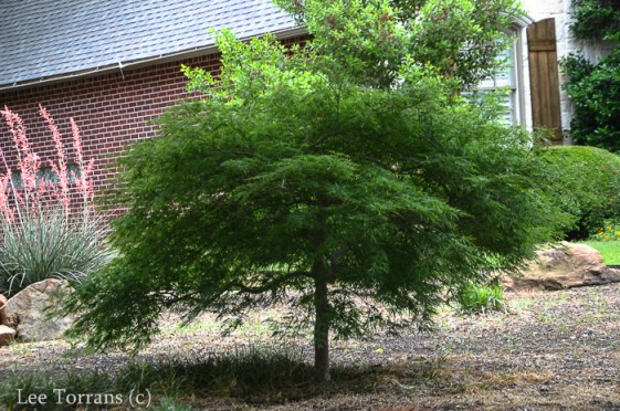 Green_Dwarf_Laceleaf_Japanese_Maple_Texas_Lee_Ann_Torrans