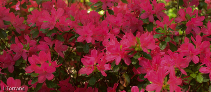 Hinodigeri_Azalea_Texas_Dallas_April