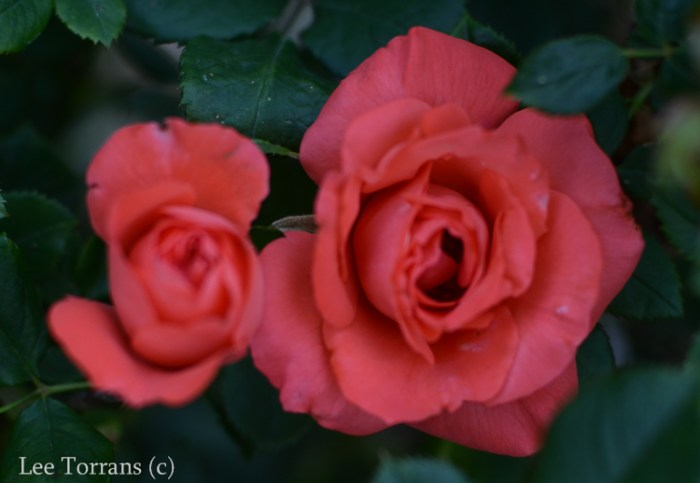 Marmelade Skies is a bright tangerine floribunda that stands up well to Texas heat. A good companion to Tropicana.