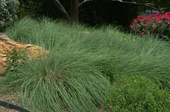 Mexican Feather Grass Texas Ornamental Grass