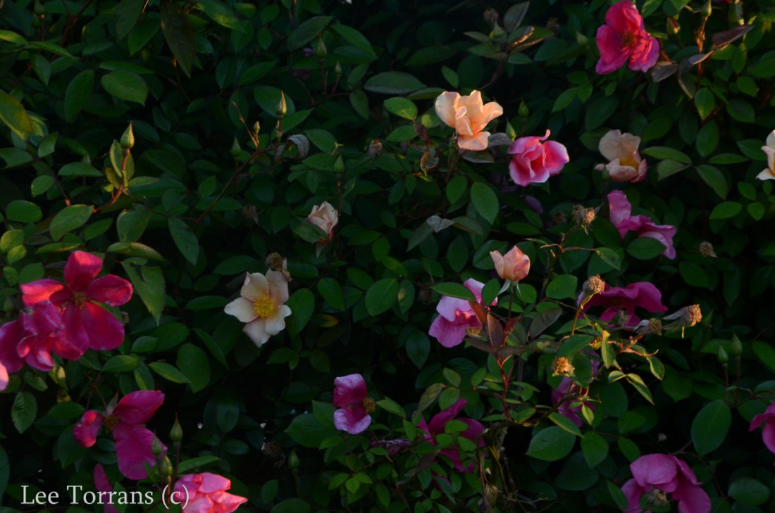 Mutabilis_Rose_Garden_Dallas_Texas_Lee_Ann_Torrans-6