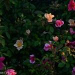 Mutabilis_Rose_Garden_Dallas_Texas_Lee_Ann_Torrans-6