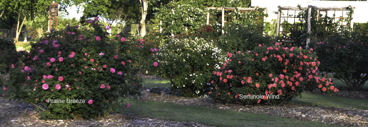 Prairie_Breeze_And_Seminole_Wind_Shrub_Roses_Texas