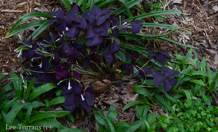 Purple Shamrock April Bloomer
