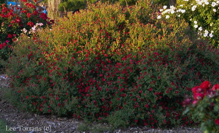 Red Cascade Miniature Rose for Texas
