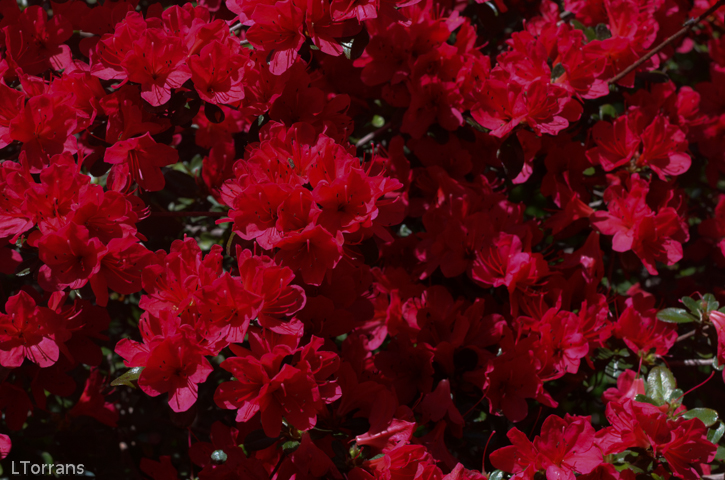 Red_Ruffle_Azalea_Texas_Dallas_April-2