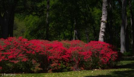 Red Ruffle Azalea for Texas
