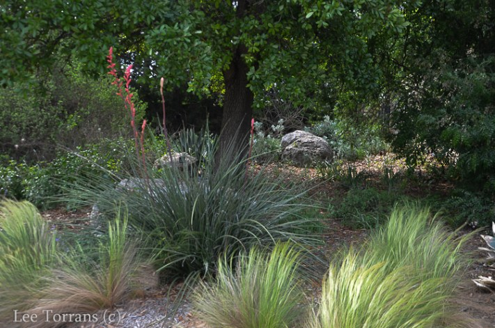 Red Yucca and Mexican Feather Grass