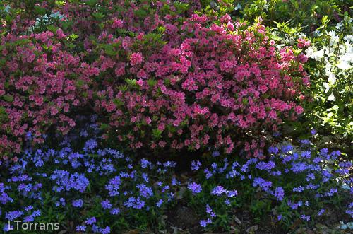 Pink Ruffle Azalea and Purple Phlox