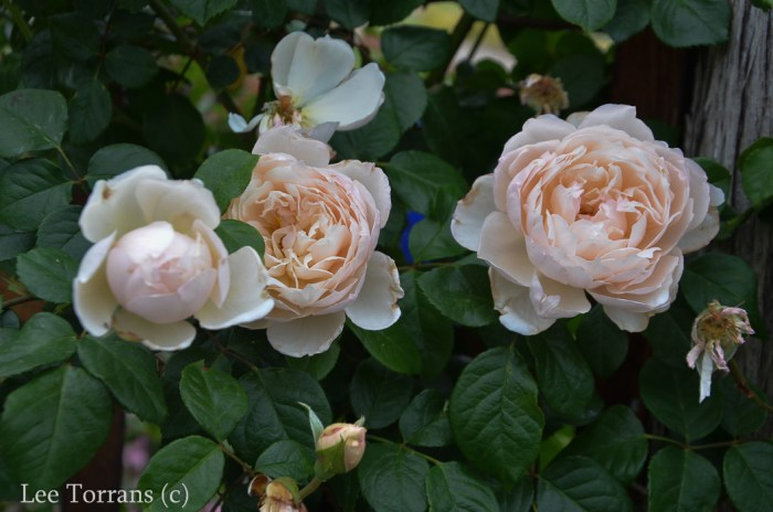 The Generous Gardner is a pale pink / apricto climbing rose that does well in Texas and a prolific bloomer for a climber.