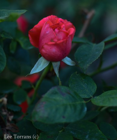 Tropicana_Hybrid_Tea_Rose_Dallas_Lee_Ann_Torrans-3