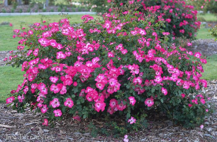 Shrub rose, pink and white rose, floribunda rose: Chuckles.