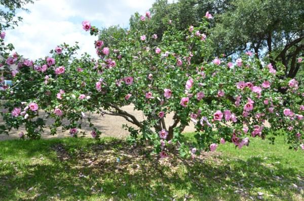 Hardy_Hibiscus_Shrub_Tree_Texas_Lee_Ann_Torrans-7